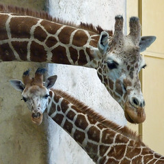 Bringing Up a Really Tall Baby (njchow82) Tags: love nature animal closeup wildlife together giraffe mardi motherdaughter bonding calgaryzoo animaladdiction beautifulexpression babysophie naturallymagnificent njchow82 thecelebrationoflife dmcfz35