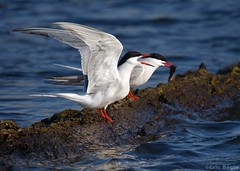 Common Tern / Sterne pierregarin (Eric Bgin) Tags: bird nature bigma wildlife olympus tern ornithology oiseau sterne commontern ornithologie sigma50500mm sternepierregarin e520 ericbegin