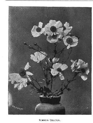 Romneya Coulteri American Florist 1890