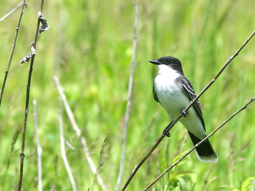 Eastern Kingbird 20100514