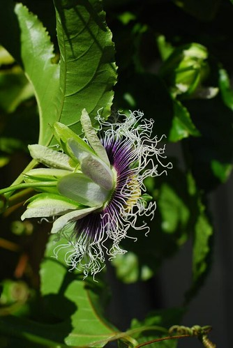 Passion fruit blossom (back)
