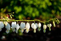 String of pearls (alankaar) Tags: usa flower green nature minnesota nikon dof bokeh minneapolis twincities nikkor bleedinghearts loringpark d60 1855mmf3556gvr