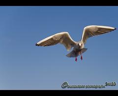 I can fly (mcPhotoArts) Tags: england bird nature natur vgel mwe stratforduponavon vogel mew mve laridae seamew canoneos400d sigma1770mm2845dcmacro photoshopcs4