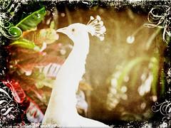 White Elegance (Nancy Violeta Velez) Tags: portrait usa bird texture luz interesting flickr florida peacock pajaro davie birdportrait whitepeacock domesticbirds beautifulbirds singleportrait skeletalmess nikond5000 flamingogardensandwildlifesanctuary whitepeacockintexture