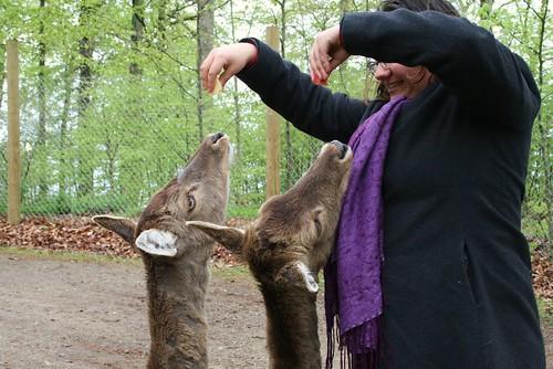 Teasing deers