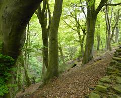 Beech Wood (grahamramsden52) Tags: tree woodland beech treesubject