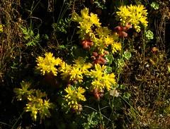 Mitchell Canyon Succulent (outdoorPDK) Tags: succulent stonecrop mtdiablostatepark sedumspathulifolium