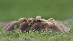 Canada Goose Chicks (Hard-Rain) Tags: bird illinois aves chicks gosling naperville canadagoose brantacanadensis branta anatidae anseriformes anserinae explore74 whalonlake 01anseriformes