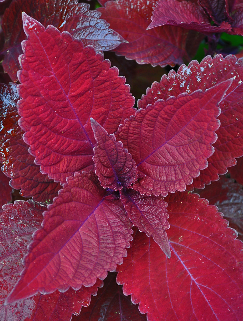 Big Red Judy Coleus