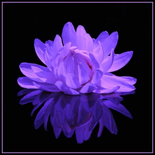 amazon water lily by rogersmithpix