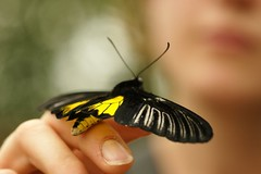 Let's Fly Away Together (hotes trinkets/DaydreamingKat) Tags: ohio macro nature yellow butterfly insect wings flickr bokeh butterflies conservatory flutter krohnconservatory 100mmmacrolens straightfrommycamera nocolorsadded sonyalphadslra700 absolutelynatural hotestrinkets