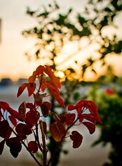 Dusk... (Jayati2009) Tags: sunset red flower green leaves nikon branch dof bokeh outdoor dusk greens kolkata d700 may2010