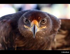Aguila Real (Seb@stián Rebolledo) Tags: españa canon real is eagle adler 100mm usm ef picnik aguila aquila orel águia aigle arend chrysaetos f28l 鹰 鷲 עיט orły عقاب ereliai справжні αετόσ örnar орли