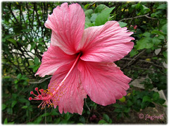 Hibiscus rosa-sinensis, a lovely pink variety