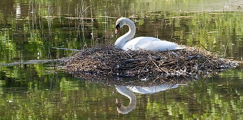 Swan Again