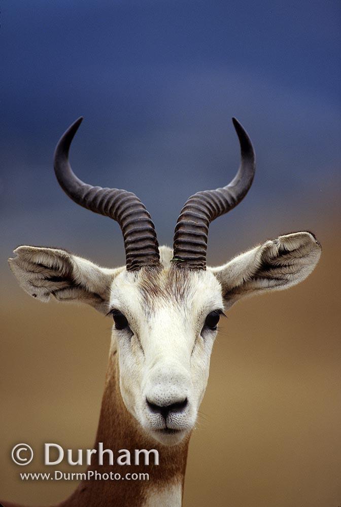 Mhorr Gazelle (Nanger dama)