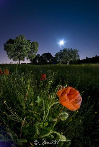 la amapola y la luna