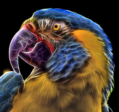 The Fractal Macaw (Steve Wilson - classic view please) Tags: uk blue brazil portrait england black color colour bird up yellow closeup blackbackground america forest photoshop zoo amazon nikon rainforest colorful close cheshire britain background south great beak feathers conservation parrot chester american jungle tropical plugin fractal colourful endangered d200 canopy macaw critical rare avian upton onblack on chesterzoo throated nikond200 bluethroatedmacaw critically fractalius caughall