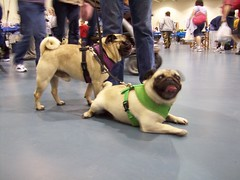 Pugfest 008 (cwisty5) Tags: pug milwaukee fest