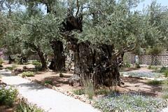 Garten mit über 1000 Jahre alten Ölbäumen bei der Todesangstbasilika/Kirche aller Nationen
