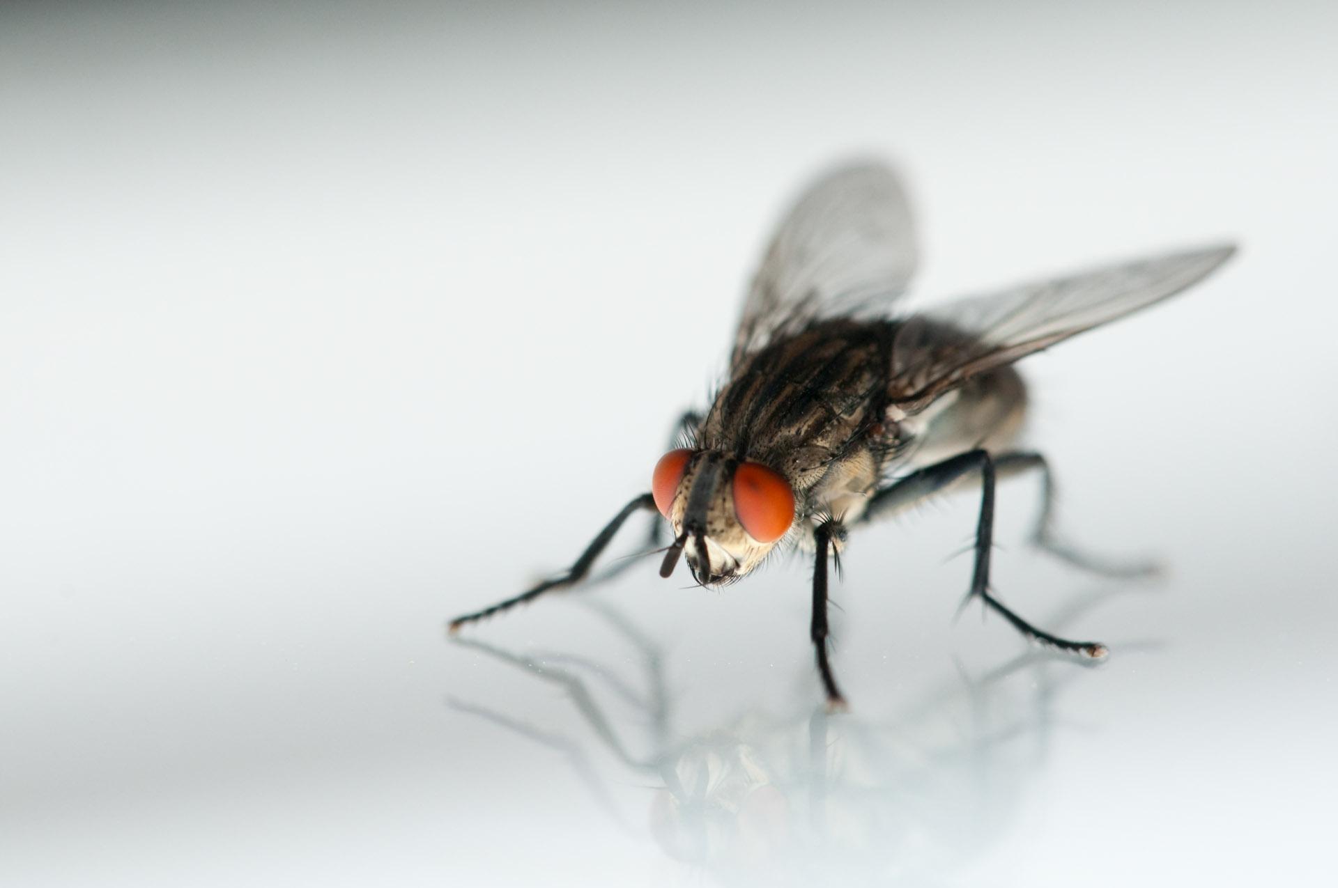 フリー写真素材 動物 昆虫 蝿・...