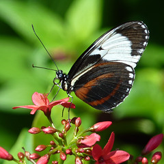 Heliconius cydno (annkelliott) Tags: flowers canada calgary nature beautiful digital butterfly insect square lumix photo colorful image bokeh butterflies alberta tropical pointandshoot sideview squarecrop calgaryzoo nymphalidae colorimage beautyinnature heliconius heliconiuscydno southernalberta wingsclosed cydnolongwing annkelliott enmaxconservatory nymphalidbutterfly fz35 panasonicdmcfz35 p1010009fz35