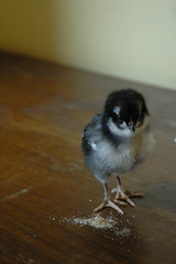 Mary & feed (Godzillgirl) Tags: baby chicks rooster australorp