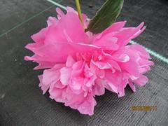 Paeonia 'Monsieur Jules Elie' (wallygrom) Tags: england westsussex peony gardencentre paeonia paeony gardencenter angmering manornursery manornurseries
