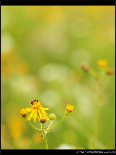 Bee and Ragwort