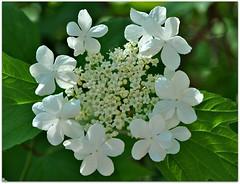 Wildflowers (Stella Blu) Tags: flowers stella white canada floral edmonton blu alberta wildflowers blooming gamewinner nikkor18200 stellablu challengeyouwinner beautifulworldchallenges nikond5000 storybookwinner