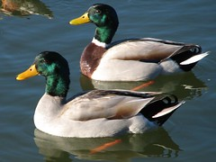Lake Conroe - Ducks