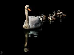 One plus seven (Paco CT) Tags: white black blanco animal spain negro asturias aves swans animales gijon esp 2010 cisnes motivo labodeguilla specanimal specanimalphotooftheday pacoct gijonoviedo gruposflickr gijonlabodeguilla