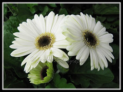 Gerbera jamesonii 'Drakensberg Buttermilk' - white rays with black central disk