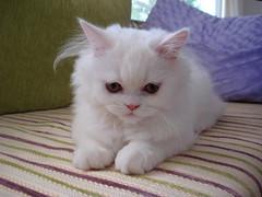 be careful (alpers) Tags: cats kitten chinchilla persiancats persiankitten paşa irankedisi chinchillacat