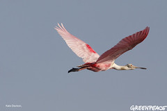 Spoonbill In Flight From BP Oil