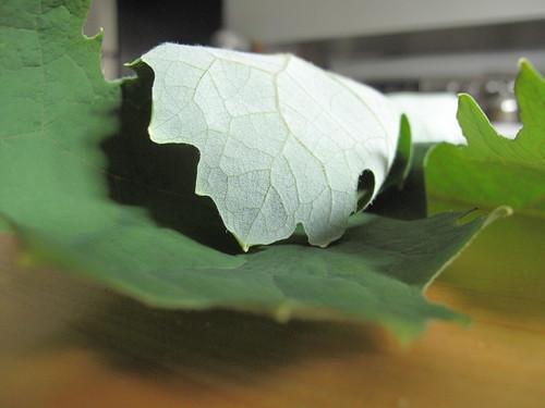 Plume poppy (Macleaya cordata)