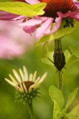 June Bug Hideout! (hotes trinkets/DaydreamingKat) Tags: ohio nature june garden bokeh beetle junebug sooc straightfrommycamera nocolorsadded scarabbeetlefamily sonyalphadslra700 absolutelynatural hotestrinkets butterfliesmidjune hidingbeetle phyllophagagenus