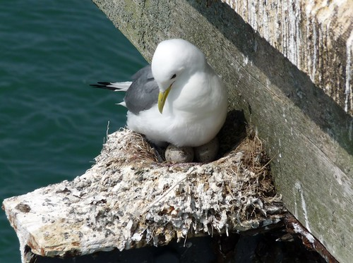 21993 - Kittiwake on Mumbles Pier, Gower