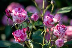Rose, Arabesque (nekonomania) Tags: red white rose bud multicolor blooming  kyotobotanicalgarden