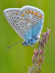 basking (pete ware) Tags: macro closeup butterfly commonblue smoothbokeh
