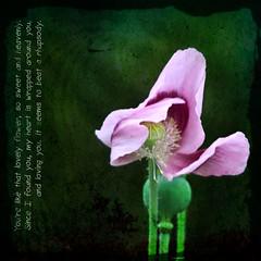 Pretty little poppy (jinterwas) Tags: pink flower green fleur photoshop lyrics groen purple photoshopped text free vert lila cc creativecommons poppy mauve pse klaproos roze bloem tekst amapola freetouse jimmydorsey pse8
