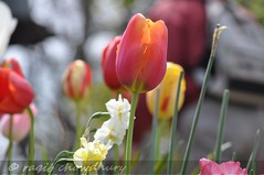 tesselaar tulips 11 (raqib) Tags: flower bulb dof australia melbourne tulip rc tulipa tulipfestival d90 tesselaar nikond90 tesselaartulip