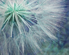 Midnight Sparkle (Julie Magers Soulen) Tags: blue plant abstract macro green nature botanical aqua fireworks lavender seed sparkle seedhead shimmer