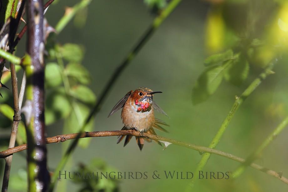 Allen's Hummingbird 10101-12