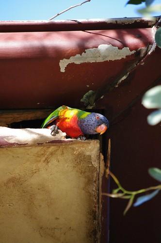 Rainbow Lorikeets Living In My Roof