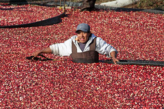 Gotta love those cranberries (ejhrap) Tags: autumn farm massachusetts harvest cranberry worker farmer bog wareham migrant flickrgolfclub