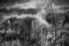 CSC_7591 (mohdhanafiah) Tags: blackandwhite bw dof bokeh spiderweb malaysia bnw terengganu kualaterengganu d40 saranglabahlabah hitamputih nikond40 manir afsdxnikkor35mmf18g