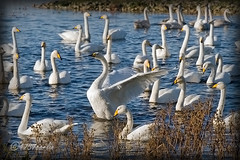 Whooper Swans (4737 Carlin) Tags: england lake bird water river garden outdoors geese duck pond stream martin wildlife reserve waterbird goose lancashire naturereserve 7d wetlands trust mallard waterfowl vignetting burscough wwt wetland wildfowl 200mm martinmere whooperswans canon70200mm canonef70200mmf4lusm siteofspecialscientificinterest wildfowlwetlandstrust specialprotectionarea ramsarsite eos7d canoneos7d wildfowlreserve canon7d martinmerenaturereserve wetlandnaturereserve
