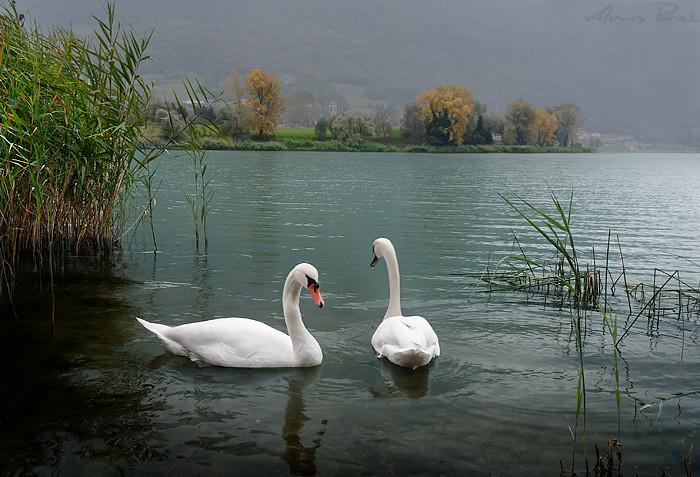 Swans Lake ver.2