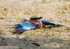 Lilac-Breasted Roller Dustbathing, Moremi, Botswana